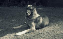 Alfa-dog-pet